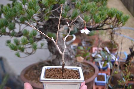 bonsai-2017-0326-01.jpg