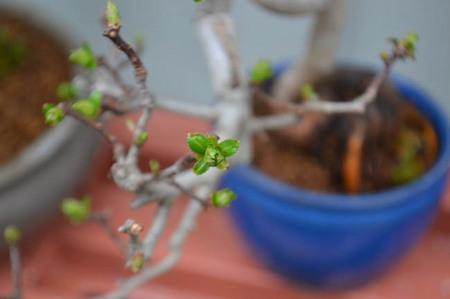 bonsai-2017-0326-03.jpg