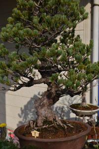 bonsai-2017-0326-06.jpg