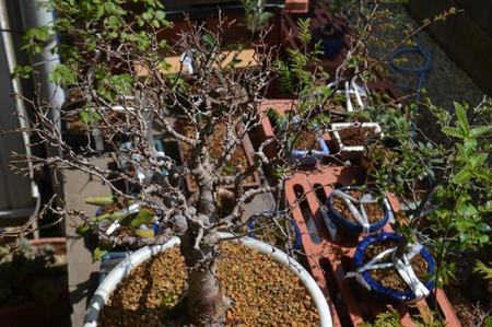 bonsai-2017-04-16-01.jpg