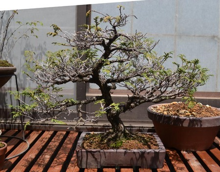bonsai-2017-04-16-02.jpg