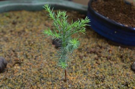bonsai-2017-0531-07.jpg