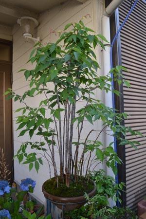 bonsai-2017-0605-01.jpg