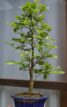 bonsai-enoki.jpg