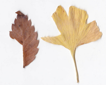 ichou-and-keyaki-leaf.jpg