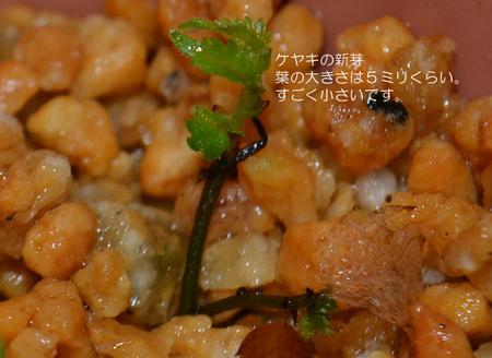 keyaki-shinme01.jpg