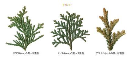 sawara-hinoki-asunaro-omote.jpg