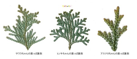 sawara-hinoki-asunaro-ura.jpg