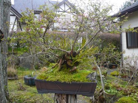 shiki-2017.04-13.jpg
