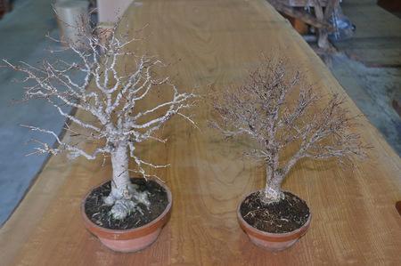 keyaki-bonsai-2019-1-28.jpg