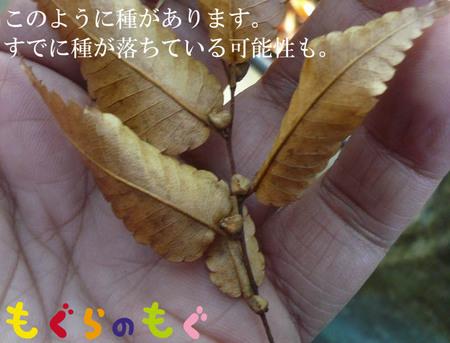 keyaki-kikaku-tane-04.jpg