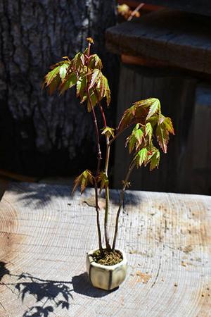 mogu-bonsai-20190413-02.jpg