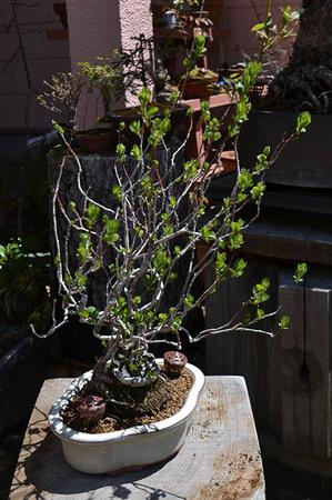 mogu-bonsai-20190413-04.jpg