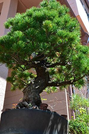 mogu-bonsai-20190413-05.jpg