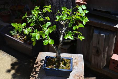mogu-bonsai-20190413-06.jpg