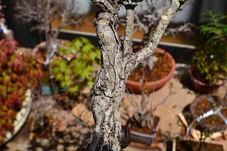mogu-bonsai-20190413-07.jpg