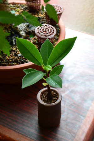 mogu-gajyumaru-bonsai-20190708.jpg