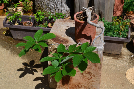 mogumogu-bonsai-2019-0502-04jpg.jpg