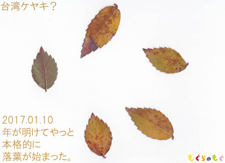 taiwan-keyaki.jpg